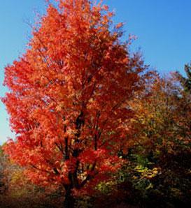 Ref Mtg 50 Red Maple Starter Seedlings