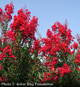 Crapemyrtle, Red Rocket - Lagerstroemia indica 'Whit IV' pp#11342