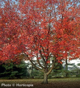 Red Sunset Maple - Acer rubrum 'Franksred'