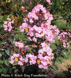 Crapemyrtle, Rhapsody in Pink - Lagerstroemia indica 'Whit VIII' pp#16616;
