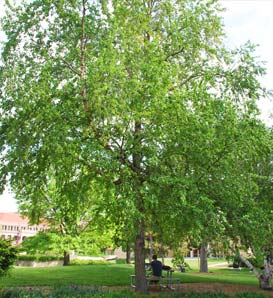 single women in birch river Birch trees are beautiful specimen trees to add to new york and 7 things you might not know about your birch trees in addition to the river birch.