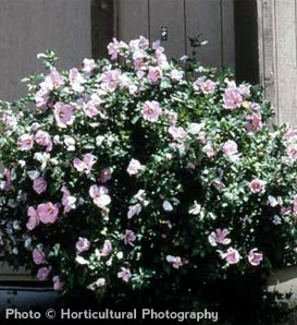 Rose of Sharon—Hibiscus syriacus