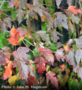Silver Maple—Acer saccharinum