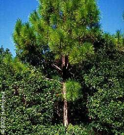 Slash Pine - Pinus elliottii