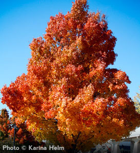 Sugar Maple—Acer saccharum