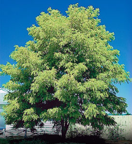 Honeylocust, Thornless - Gleditsia triacanthos inermis
