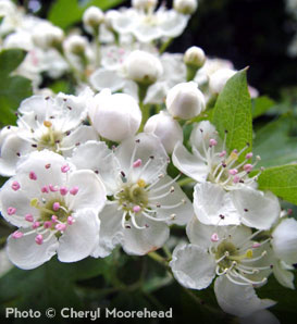 Hawthorn, Washington - Crataegus phaenopyrum