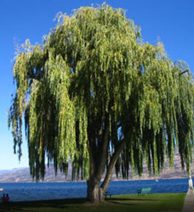 http://www.arborday.org/trees/graphics/trees/detail/Weeping-Willow_1.jpg