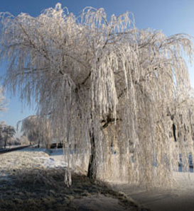 Weeping Willow—Salix babylonica
