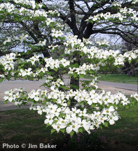 White Dogwood - Cornus florida