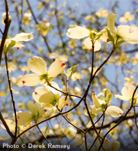White Dogwood—Cornus florida