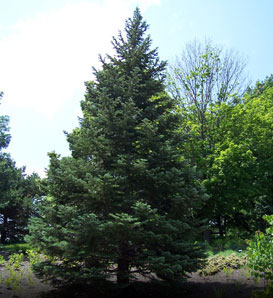 White Fir—Abies concolor