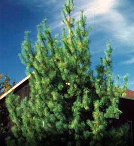 White Pine—Pinus strobus