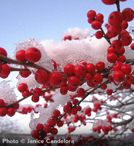 Winterberry Holly - Ilex Verticillata 'Winter Red'