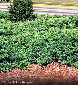 Youngstown Juniper—Juniperus horizontalis 'Plumosa Compacta Youngstown'