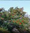 American Mountainash