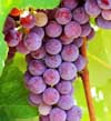 Catawba Grape Vine
