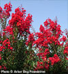 Red Rocket Crapemyrtle