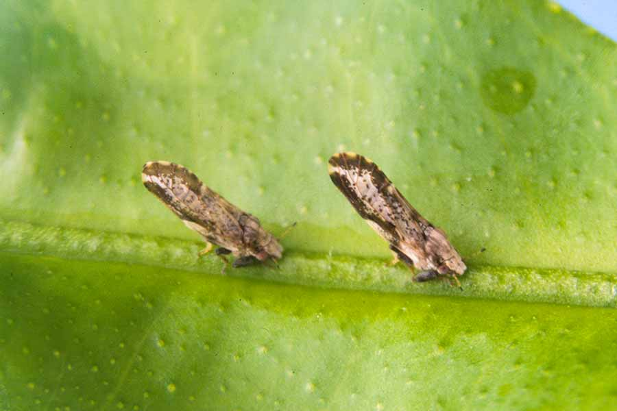 Asian Citrus Psyllid Amp Citrus Greening Or Hlb The Arbor