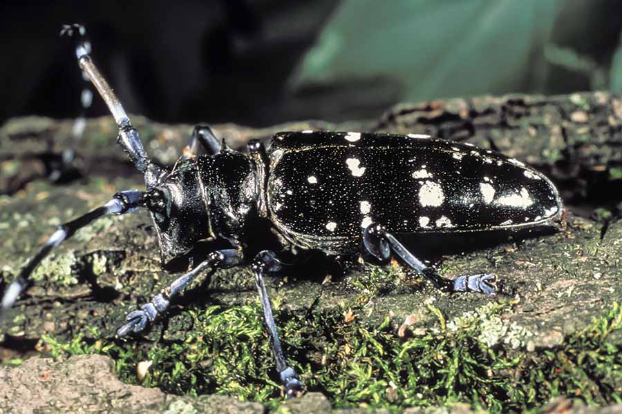 Asian longhorn beetle picture commit
