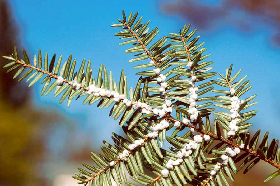 Hemlock Wooly Adelgid The Arbor Day Foundation