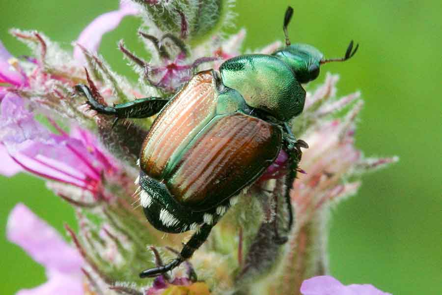Japanese Beetle The Arbor Day Foundation