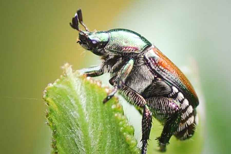 Japanese Beetle - The Arbor Day Foundation