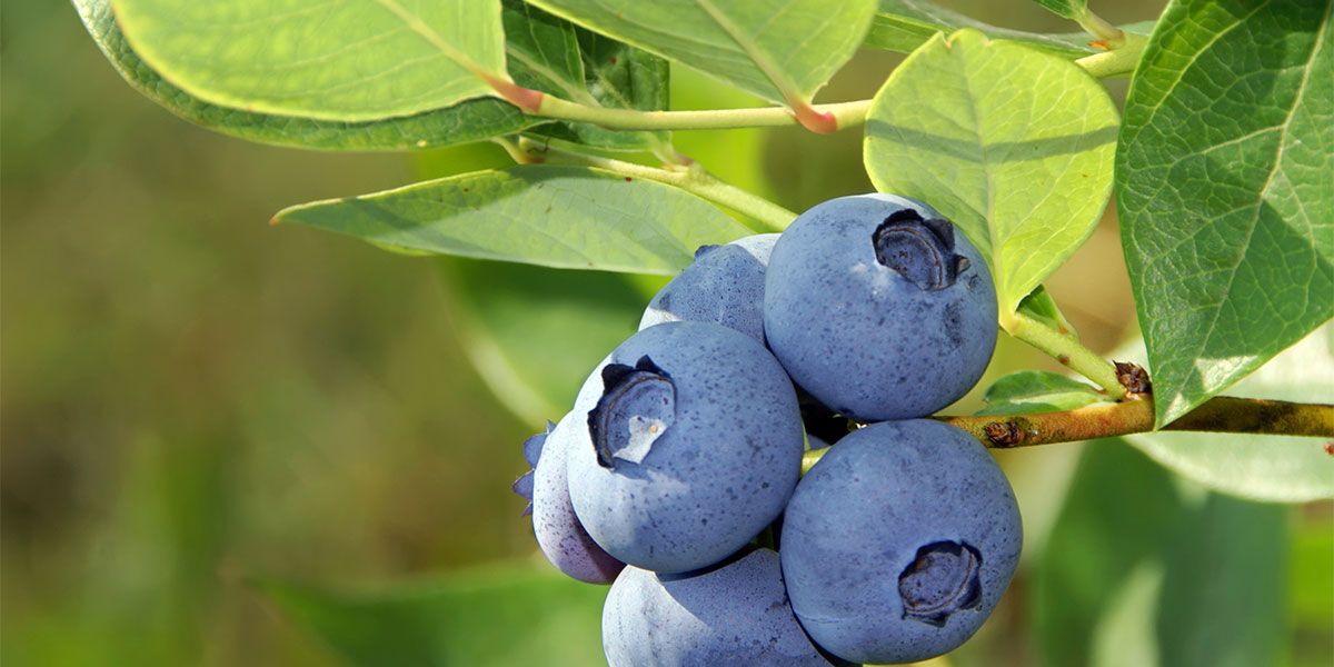 how to create acidic soil for blueberries