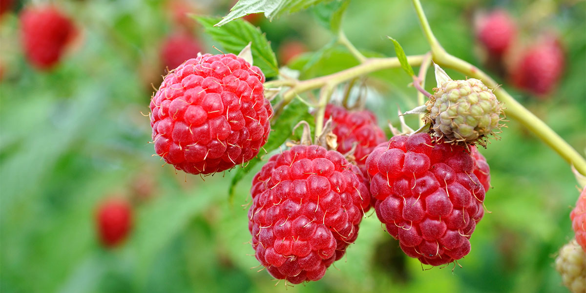 Image result for red raspberry shrub
