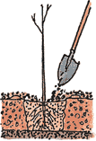 Illustration of a bare root tree being planted according to the fifth step.