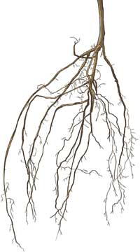 Illustration of a bare root tree.