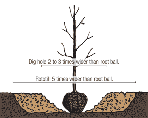 Illustration of a balled and burlapped tree being planted according to the second step.