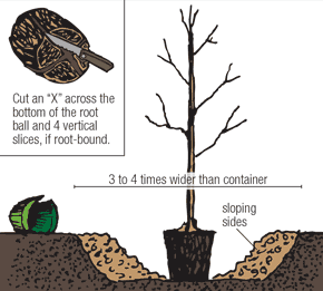 Illustration of a containerized tree being planted according to the fourth step.