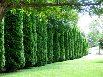 Fast Growing Bushes For Privacy Fence