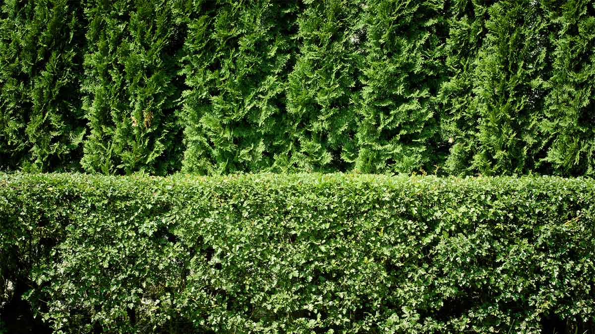 Best Tall Privacy Hedge Plants Foto Bugil 2017