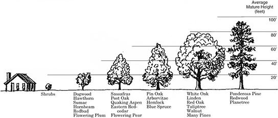 How big is root ball of mature oak tree