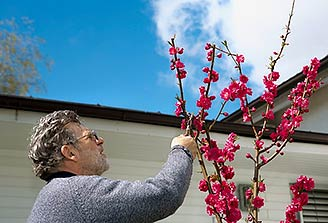 Man Pruning a Peach Tree
