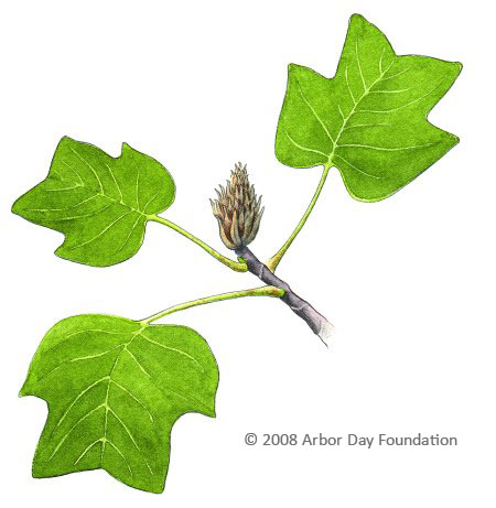 What Tree Is That Online Edition at Arbordayorg
