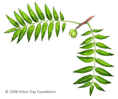 What Tree Is That? Online Edition at Arborday org
